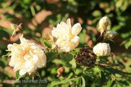 Rosa 'Alister Stella Grey'