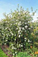 Viburnum carlesii 'Diana'