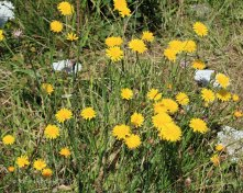 Autumn Hawkbit ( Leontodon autumalis)