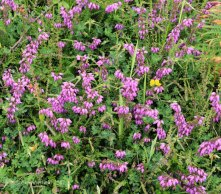 Bell Heather (Erica cinerea )