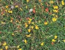 Birdsfoot trefoil (Lotus corniculatus )