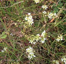 Common Scurvy Grass (Cochlearia officinalis )