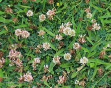 Dutch Clover (Trifolium repens )