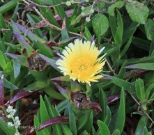 Hottentot Fig (Carpobrutus edulis )