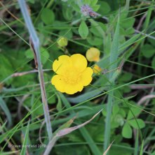 Meadow Buttercup ( Ranunculus acris )