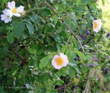 Dog Rose ( Rosa canina )