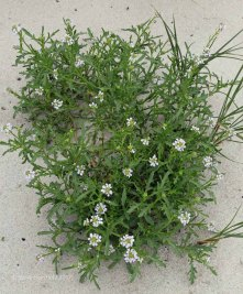 Sea Rocket (Cakile maritima )