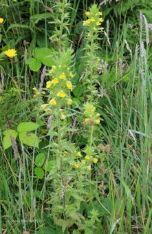 Yellow Bartsia (Parentucellia viscosa)